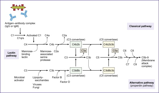 The Complement System-Immunology